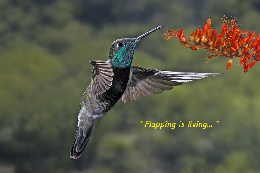 MagnificentHummingbird flapping is living